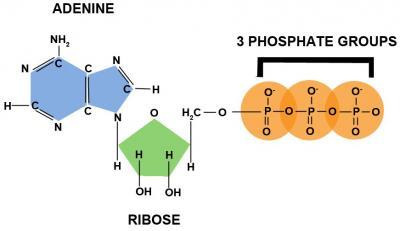 1 adenosine triphosphate
