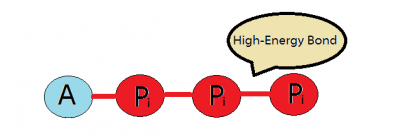 Atp adenosine triphosphate