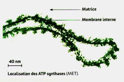 Localisation des atp synthase