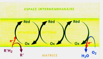 Oxydo reduction membrane interne