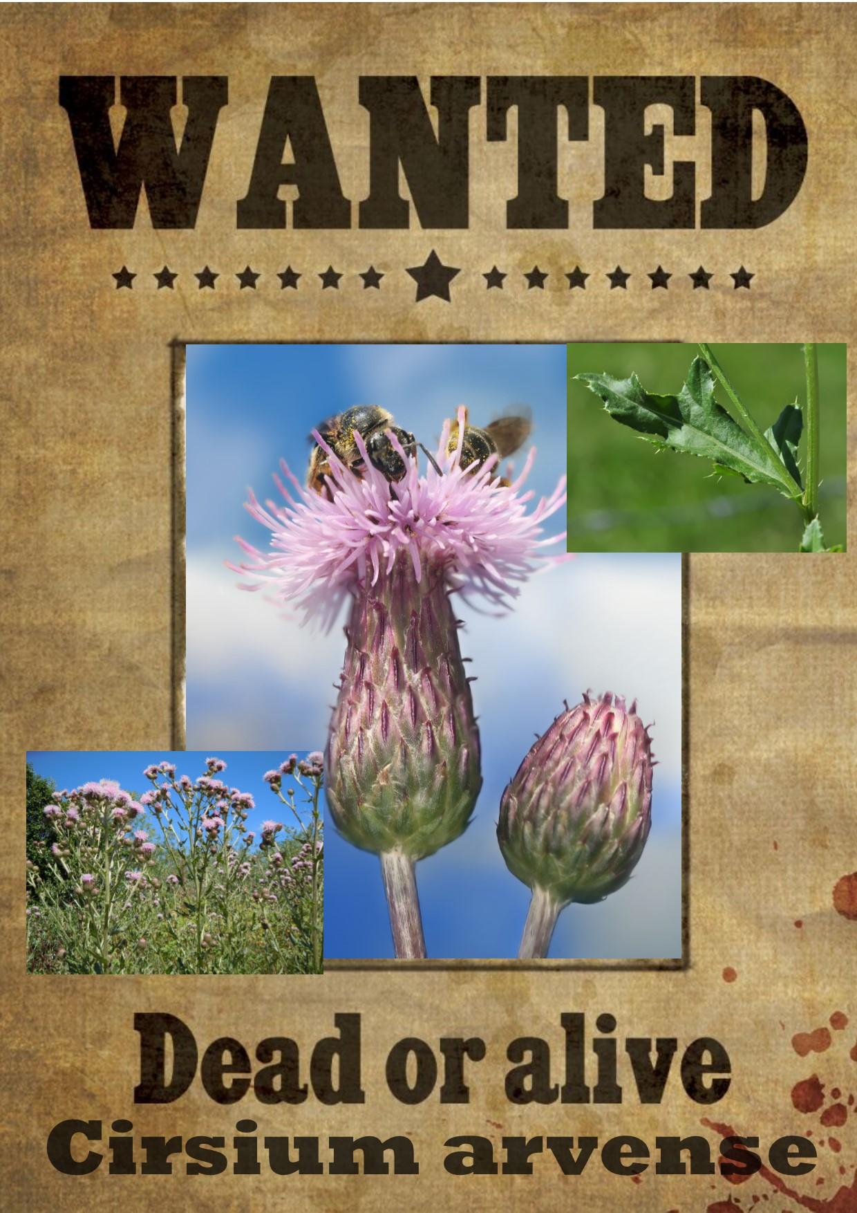 Wanted cirsium arvense 1